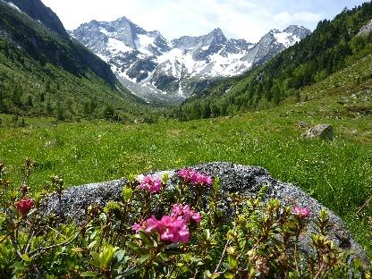 alpenrosen3.jpg